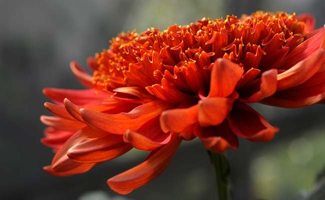 Flowers May Attract More Dengue Mosquitoes To Lay Eggs: Study
