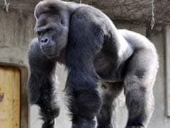 'Handsome' Gorilla's Birthday Celebrated in Japan