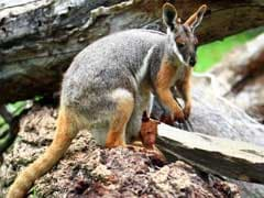Kangaroo Jumps And Ruptures Woman's Breast Implants