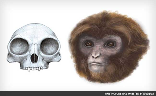 New Link in Humans, Apes Evolution Found