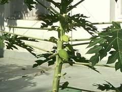 Benefits of Raw Papaya: दवा से कम नहीं <b>कच्चा पपीता</b>, होते हैं कई फायदे