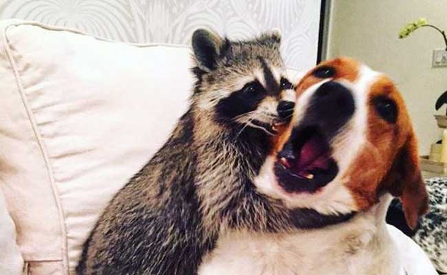Raccoon Is On Instagram And Lives With Two Doggy Friends - Pumpkin rescued raccoon