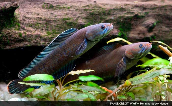 More Than 200 New Species Found in Eastern Himalayas, Including A 'Walking' Fish