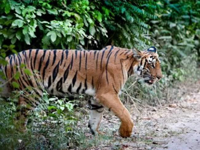 यहां मिले बाघ के पैरों के निशान, रात में सुनाई पड़ती है दहाड़ने की आवाज, दहशत में लोग