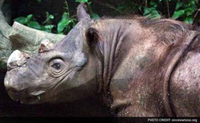 Rare Sumatran Rhino 'Hope' Arrives in Indonesia to Mate