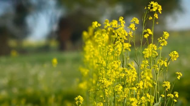 Genetically Modified Mustard Cultivation Faces Stiff Protest