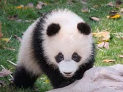 China to Release Fifth Giant Panda