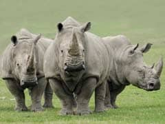 One of Last Four Northern White Rhinos on Earth is Euthanized