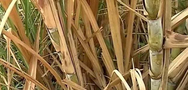 Industry Body Sees India's 2015-16 Sugar Output Down 11.7%