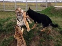 कभी न देखा, न सुना : दो बाघों और तीन कुत्तों के बीच 'असंभव' दोस्ती...