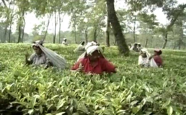 Minimum Wages, Closed Gardens Main Poll Issues In Bengal Tea Belt