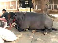 This Bull is Worth Rs 7 Crore. Here's Why it is Pampered So Much