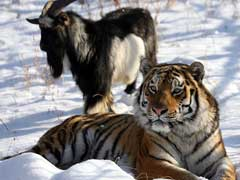 Friendship Of Tiger And Goat Tugs At Russia's Heartstrings