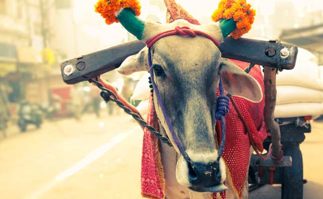 Cow is Yahoo's Personality of The Year