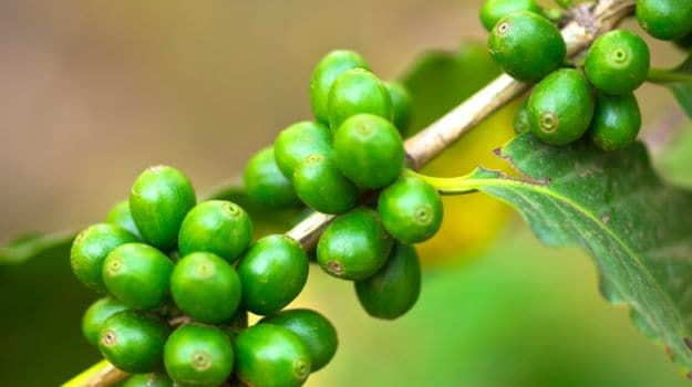 Can A Cup Of Green Coffee Help You Lose Weight Youll Be Surprised