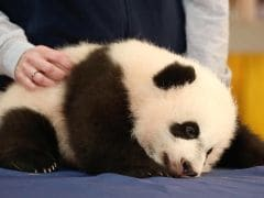 Giant Panda Cub Bei Bei Snoozes During His Media Debut