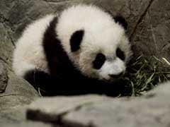 Panda Cub In Washington Is Thriving Ahead Of Public Debut