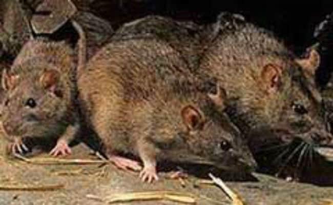 यहां की सरकार छेड़ेगी चूहों के खिलाफ सबसे बड़ी जंग: 40,000 पिंजरे और 300 किलो जहर होगा हथियार