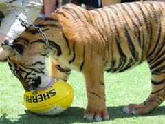 'Hot And Bothered' Tiger Attacked Keeper In The Head