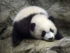 Bei Bei, A Giant Baby Panda Makes Public Debut