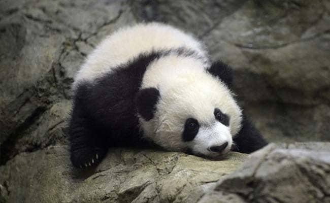 Bei Bei, A Giant Baby Panda Makes Public Debut