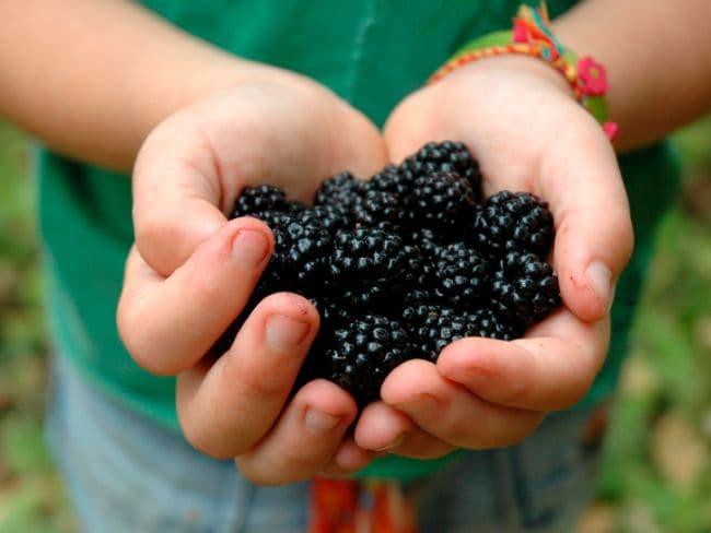 black raspberry barries