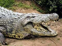 Australia Police Capture Giant Cattle-Eating Crocodile