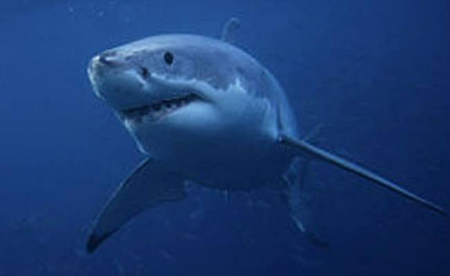 Great White Shark Dies After Three Days In Captivity