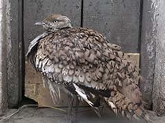 Pak Permits Qatari Emir, 9 Royal Members To Hunt Endangered Birds: Report