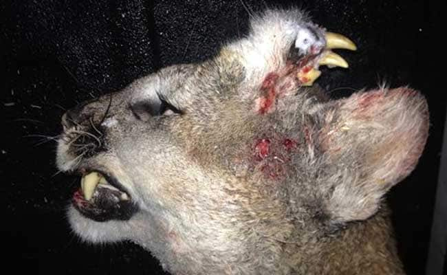 With Teeth Growing From Forehead, Mountain Lion Leaves Biologists Puzzled