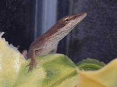 Lizard Lounging In Kindergarden Student's Salad Is Now Class Pet
