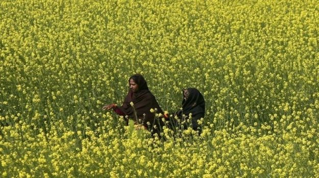 Rajasthan, India's Top Mustard Producing State, Sees Higher Output