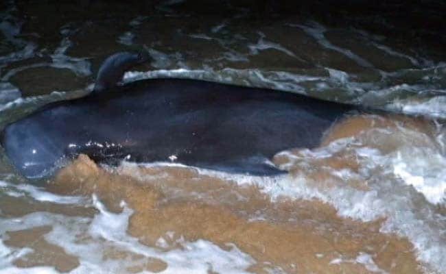 45 Whales Die After Being Stranded On Beach In Tamil Nadus Tuticorin