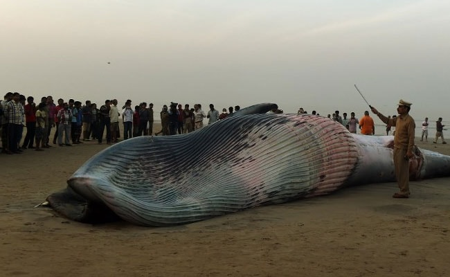 40-Feet-Long Whale Washes Ashore In Maharashtra's Raigad Coast