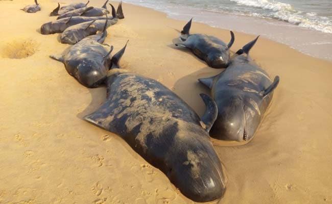 तमिलनाडु के तूतीकोरिन में समुद्रतट पर आ पहुंचीं 45 व्हेल मछलियों की मौत, 36 बचाई गईं