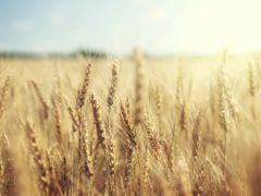 Wheat, Rice Harvests Headed for Record High: FAO