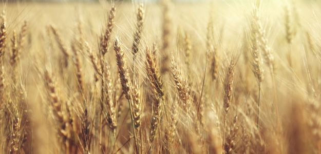 Why Wheat Production in Madhya Pradesh May Dip This Season