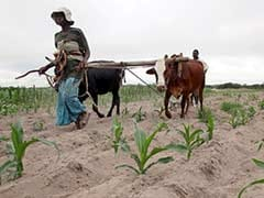 Zimbabwean Farmers Fear The Worst As Cattle, Crops Succumb To Drought