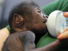 Gorilla Born By Rare Caesarean Section Delivery At British Zoo