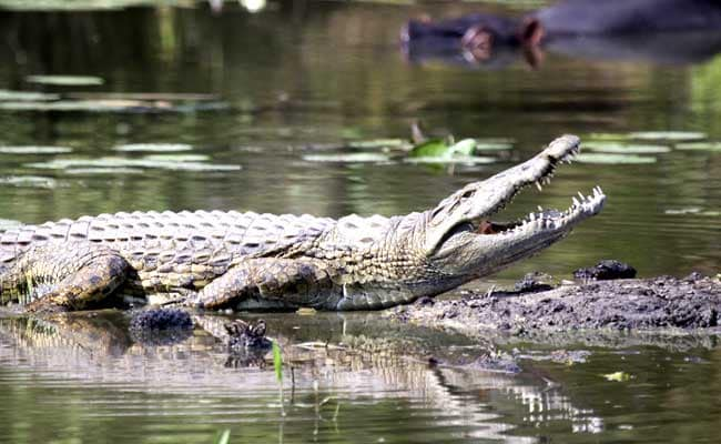Russian Tourist Killed By A Crocodile In Indonesia