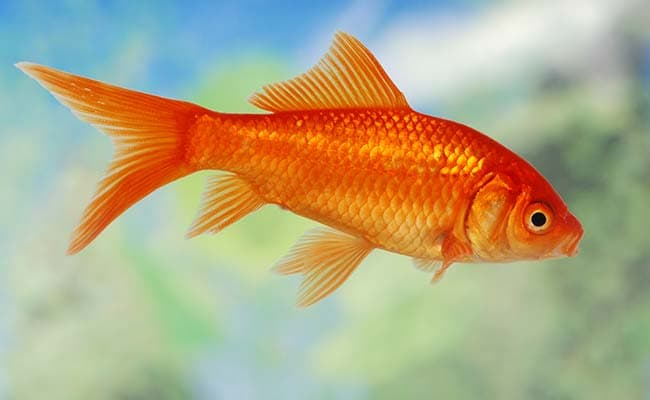 Goldfish go over the drink-drive limit to survive under ice