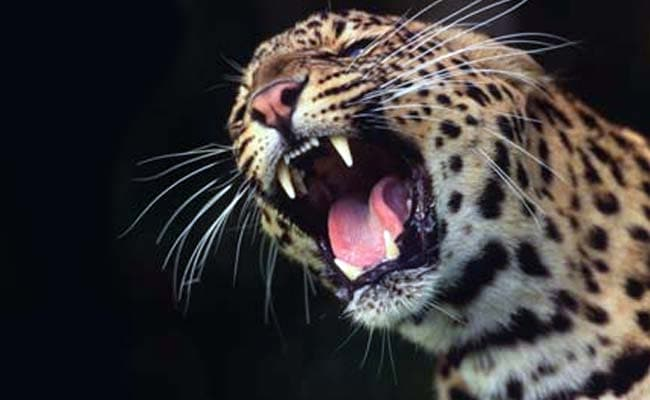 5-Year-Old Girl Mauled To Death By Leopard In Nashik