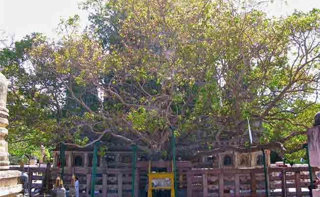 बोधगया में पवित्र महाबोधि वृक्ष की शाखा टूट कर गिरी