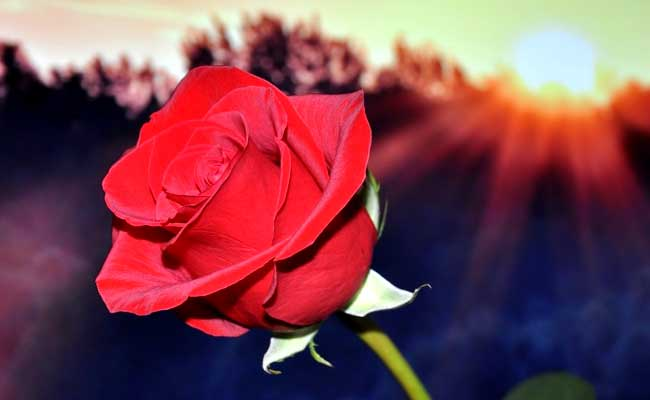 Rose Day 2017: The Significance Of Different Colours