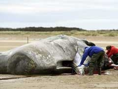 Nearly 30 Sperm Whales Wash Up And Die On North Sea Beaches