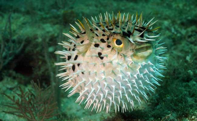 giant puffer fish puffed up - photo #33