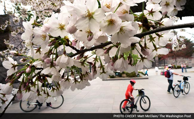 How Much Do You Know About Cherry Blossoms?