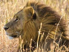 Rangers Killed One Of Kenya's Most Famous Lions Because They Were Out Of Tranquilizers