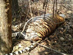 Tigress, 2 Cubs Poisoned In Madhya Pradesh's Pench Tiger Reserve