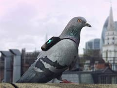 Pigeons In Tiny Backpacks Are Measuring Air Pollution In London
